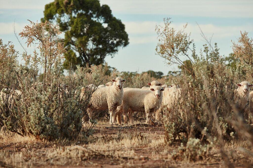 three rivers saltbush lamb