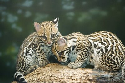 Ocelot kittens at five months
