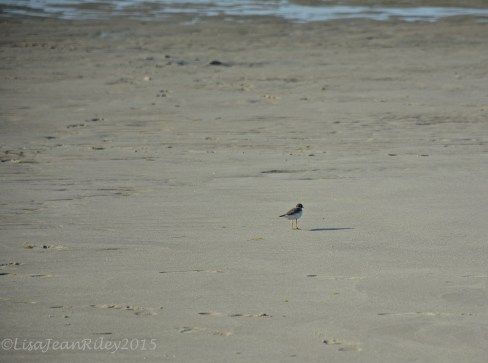 PippingPlover