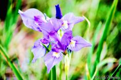WyomingWildflowersInEarlySpring2