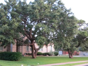 Live Oaks are a Texas landmarks.