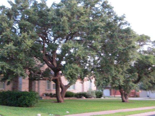 Live Oaks are a Texas landmarks. Improper trimming of Oaks can kill or permanently damage a huge asset to your home and to the planet. The improper trimming of any tree can cause permanent damage and disease to any tree.