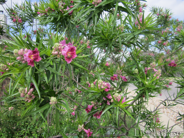 Desert Willow-excellent native, low water, low maintenance choice for Central Texas