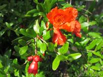lisalapaso_pomegranate flower