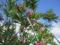 Desert willow, landscape design, lisa lapaso