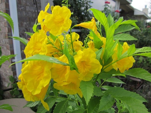 Yellow Bells Esperanza-beautiful and drought tolerant.