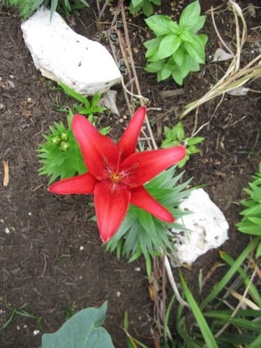 Asiatic Lily is a burst of color in the late Spring, early Summer landscape. They are fantastic at the front of your beds for interest and a pop of color.
