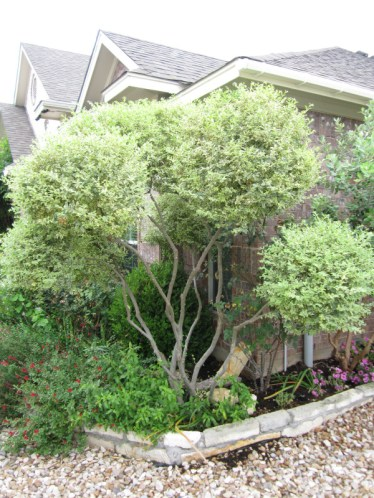 Trimming Topiaries is an art form. Cutting the wrong branch or stem can take the plant years to recover from.