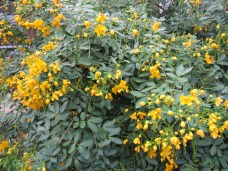 Texas flowery Senna tree, Lisa LaPaso