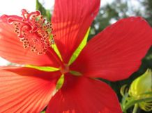 Texas Star Hibiscus, a Texas star indeed!
