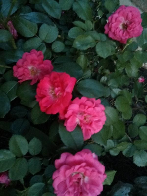 Peach Drift mounding Rose