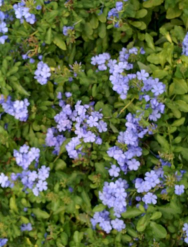 Blue Plumbago, Lisa LaPaso