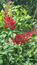 LIsa LaPaso Firemans helmet Coral Bean 10 x 10, full to part sun blooms from spring to fall, then goes dormant in winter.
