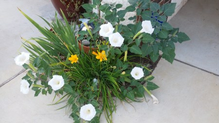 Moon Flower Datura, Lisa LaPaso