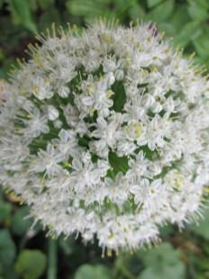 Alliums, lisa Lapaso, landscape design