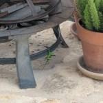 Anole Lizards mating, Lisa LaPaso