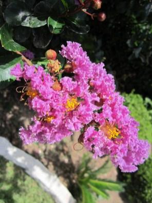 Crepe Myrtle varieties