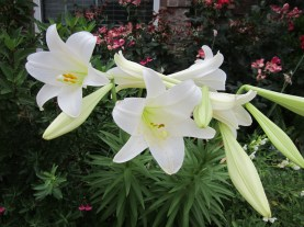 Easter Lily planted in the perennial beds.