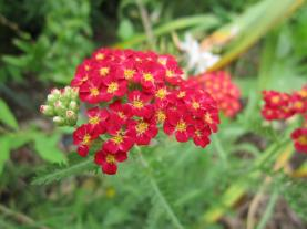 Paprika Yarrow is an excellent plant for Central Texas, evergreen, colorful and medicinal.