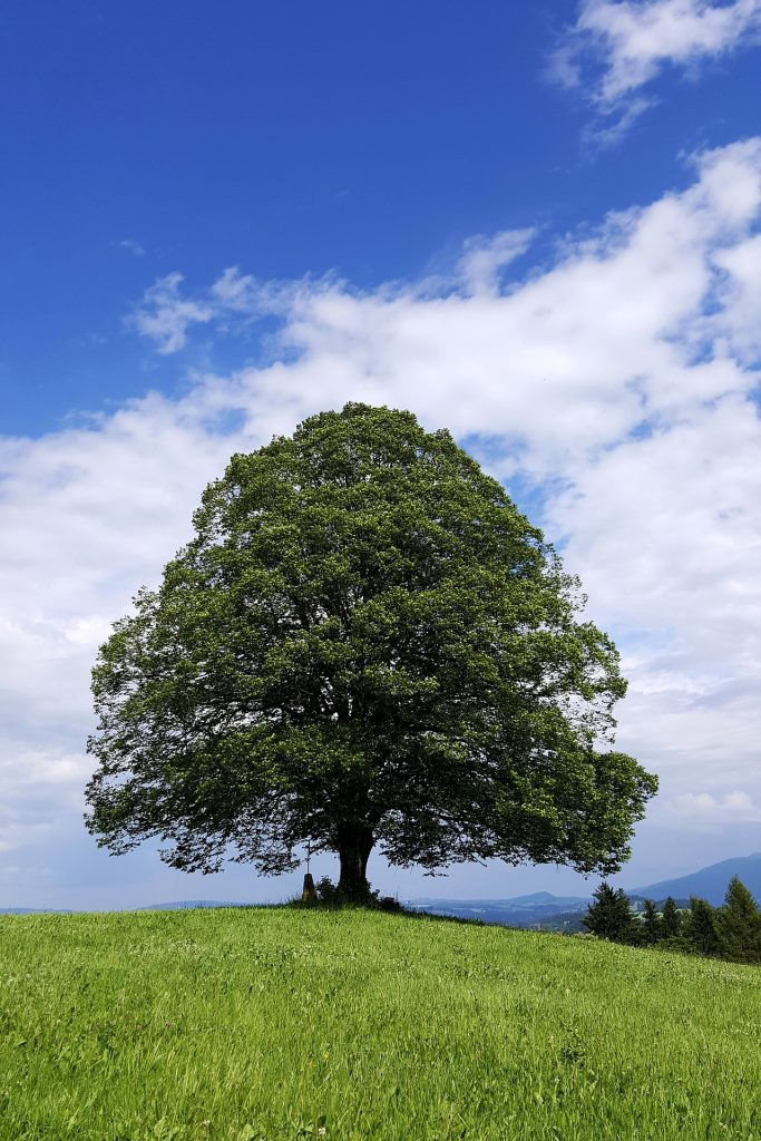 Large oak tree with green leaves and on green grassy hill with blue skies and white clouds