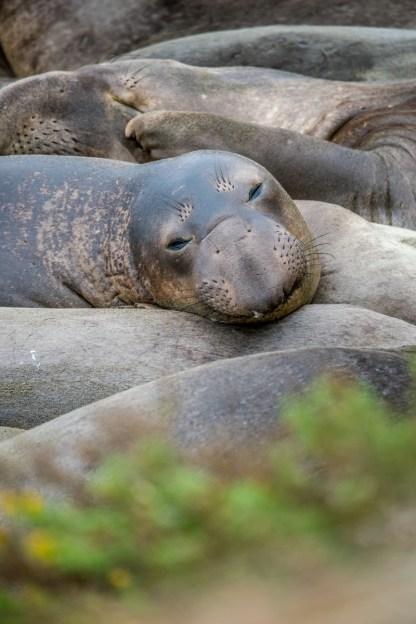 Juvenile northern elephant seals pile up together at Piedras Blancas. © 2018 Lisa Marun