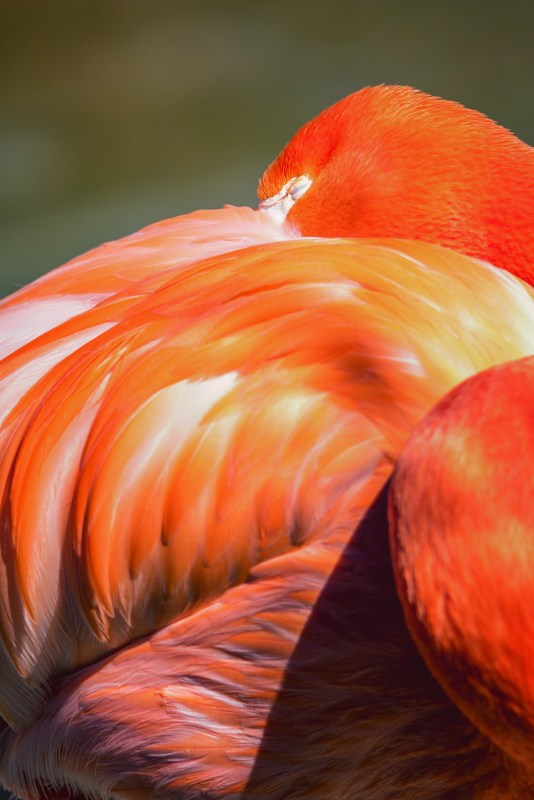 American flamingos' arresting pigmentation is due to their carotenoid-rich diet. Image © Lisa Marun