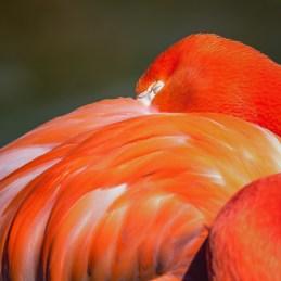 American flamingo © Lisa Marun 2019