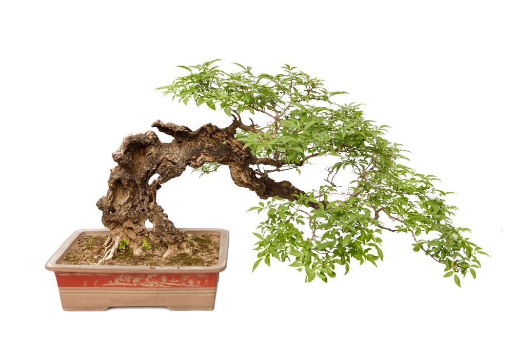 semi cascade bonsai A blog