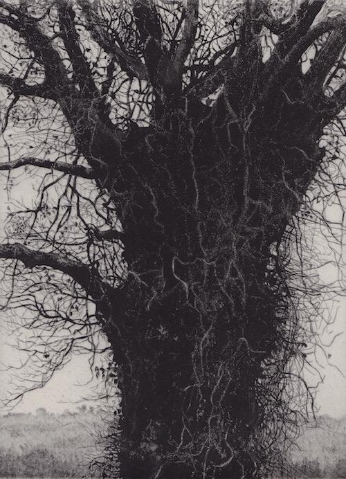 Prints Sentinel Ancient Tree Etching