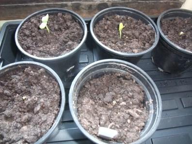 Cucumber seedlings coming through!