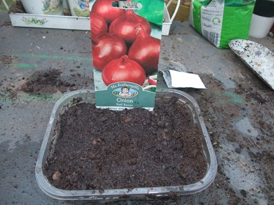 Red Onions sown