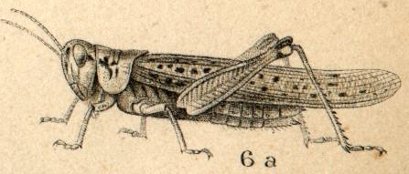 Rocky Mountain Locust, or grasshopper