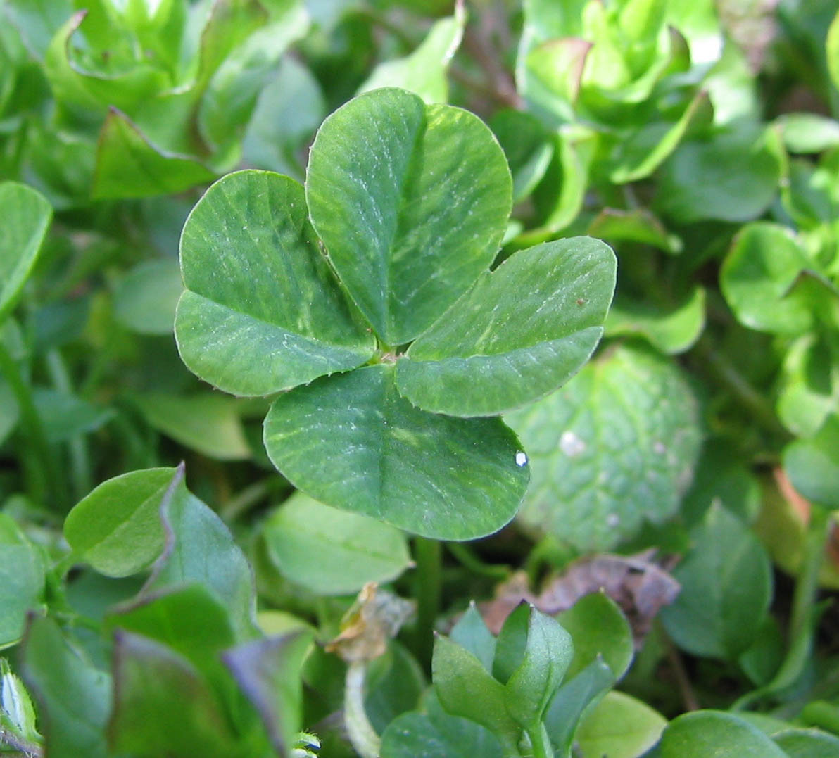 """As a kid I searched and searched for a four leaf clover. I never found one. I asked my dad how could I be lucky if I couldn't find one. His reply, """"You can make your own luck; it's all around you!."""""""