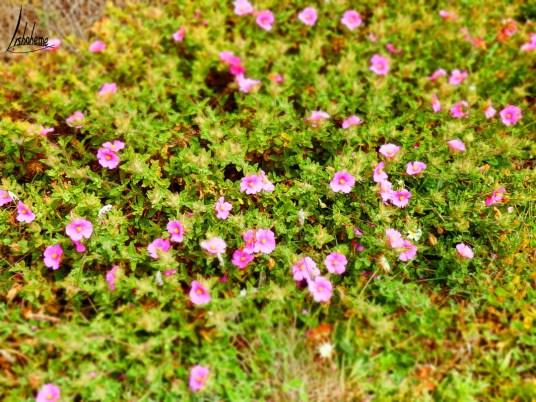 Fleurs, Cap Espichel
