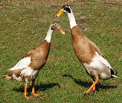 250px-runner-ducks