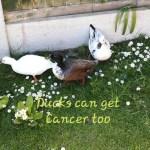 ducks-get-cancer