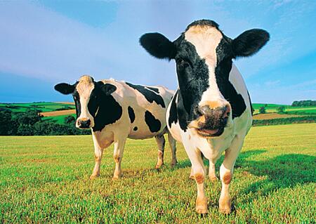 Happy Cows!