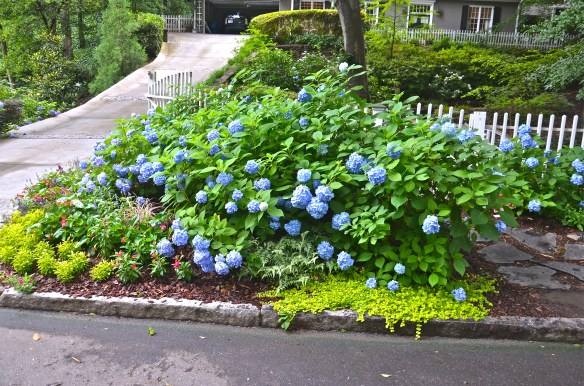 I will have hydrangea for every room in the house this year