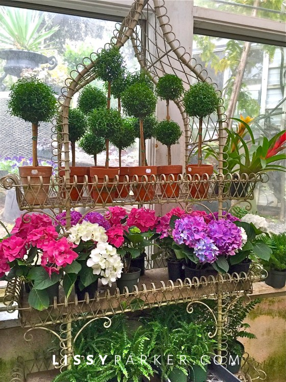 Myrtle topiary and Hydrangea