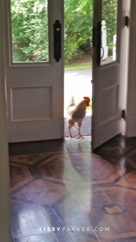 Rooster coming in the farm house door