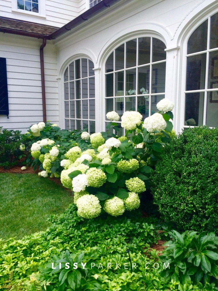 Annabelle hydrangea and boxwood