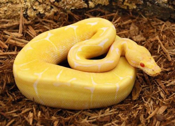 Albino Ball Python