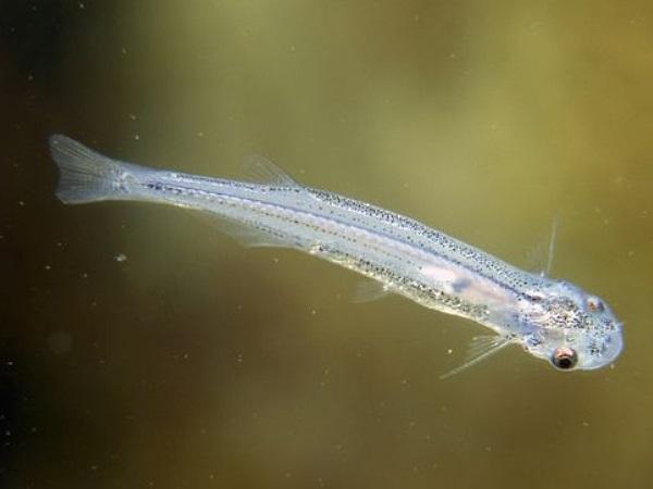 Candiru Fish