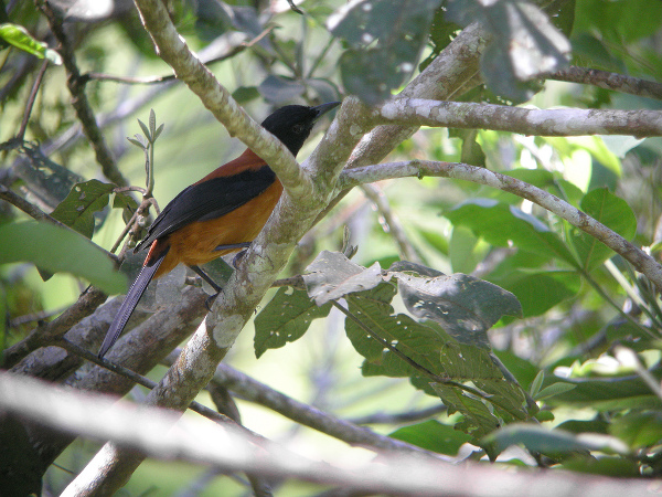 Hooded_Pitohui