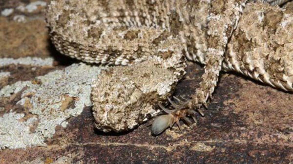 spider tailed horned viper