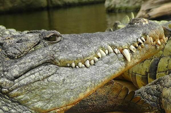 Crocodile Dung