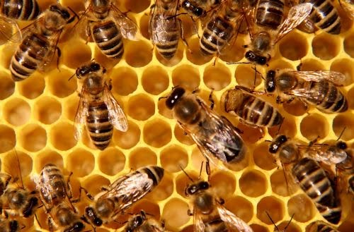 8 Honey Bees Take A Lifetime to Create 1 Tablespoon Honey