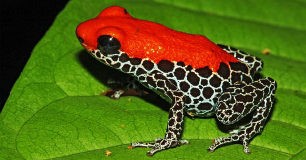 Red Backed Poison Frog