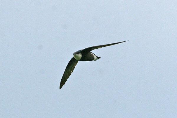 White throated Needletail Swift