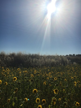 Campos de girassóis - Provence